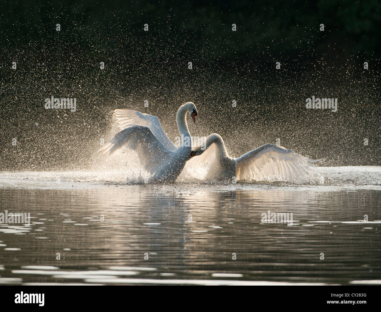 Backlit image of two beautiful swans fighting on a lake - Stock Image