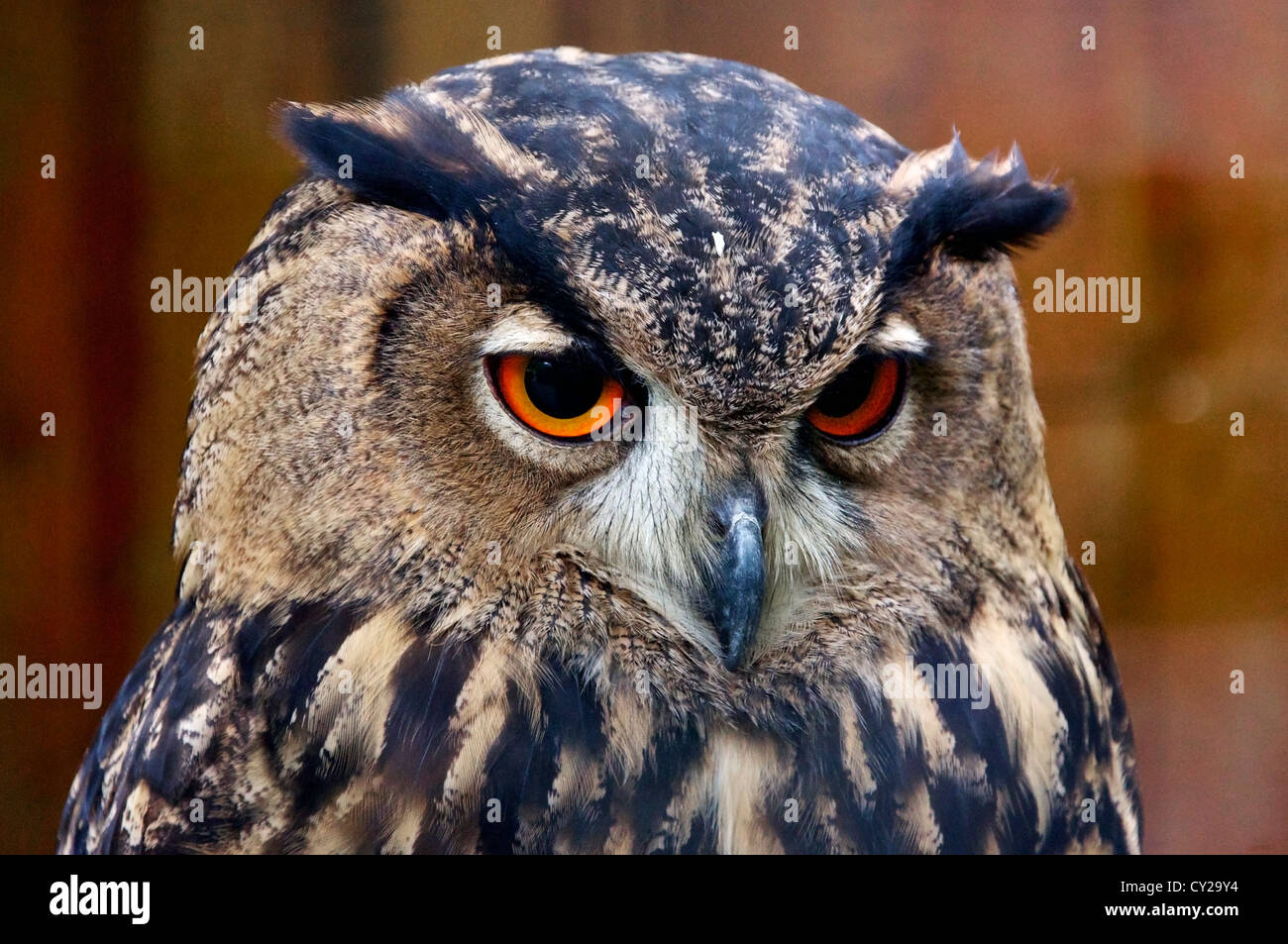Closeup of an Owls head - Stock Image
