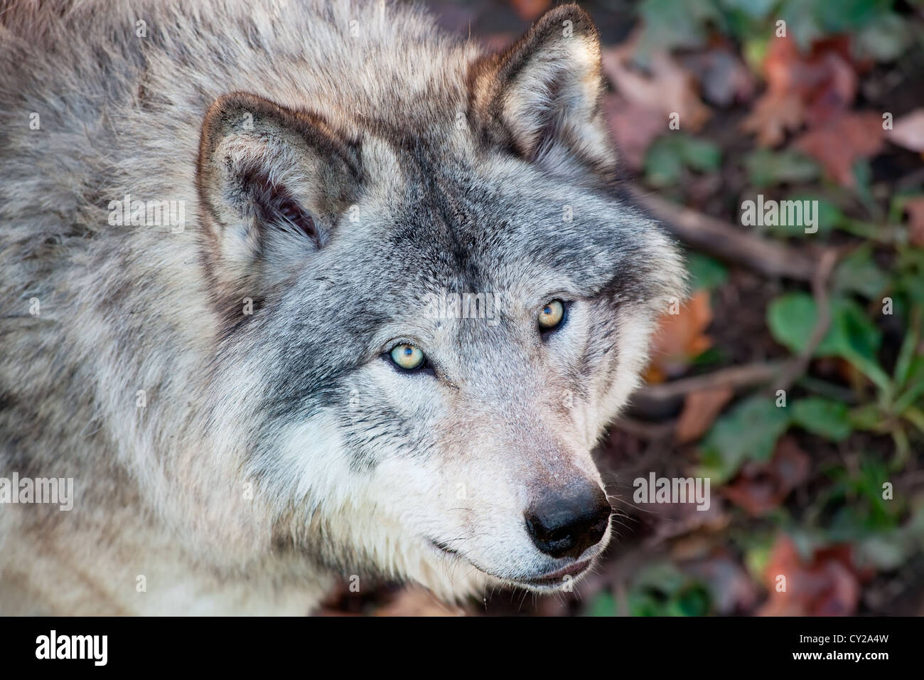This is a close-up of a gray wolf - Stock Image