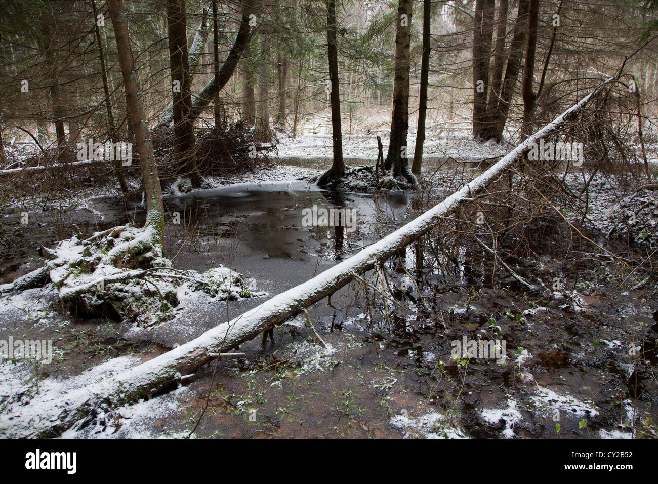 Early winter landscape of natural forest with dead spruce tree trunks lying - Stock Image