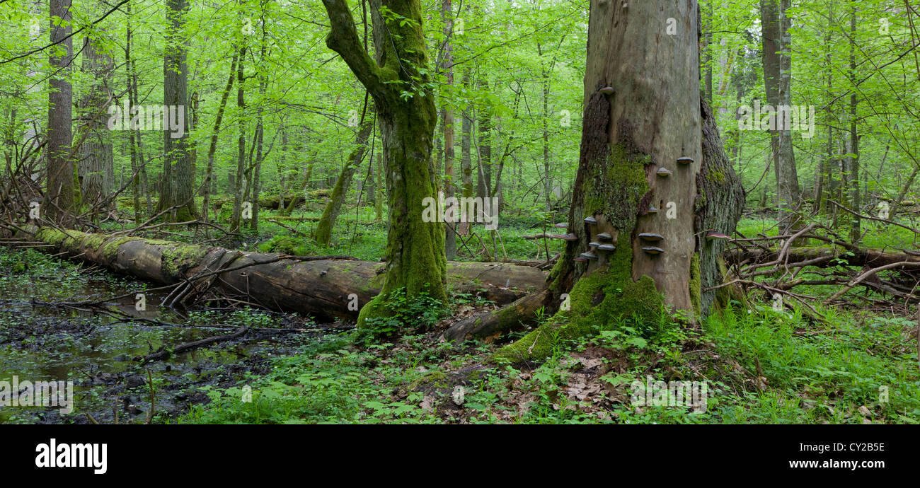 Wind broken spruce in foreground and moss wrapped hornbeam tree in springtime - Stock Image