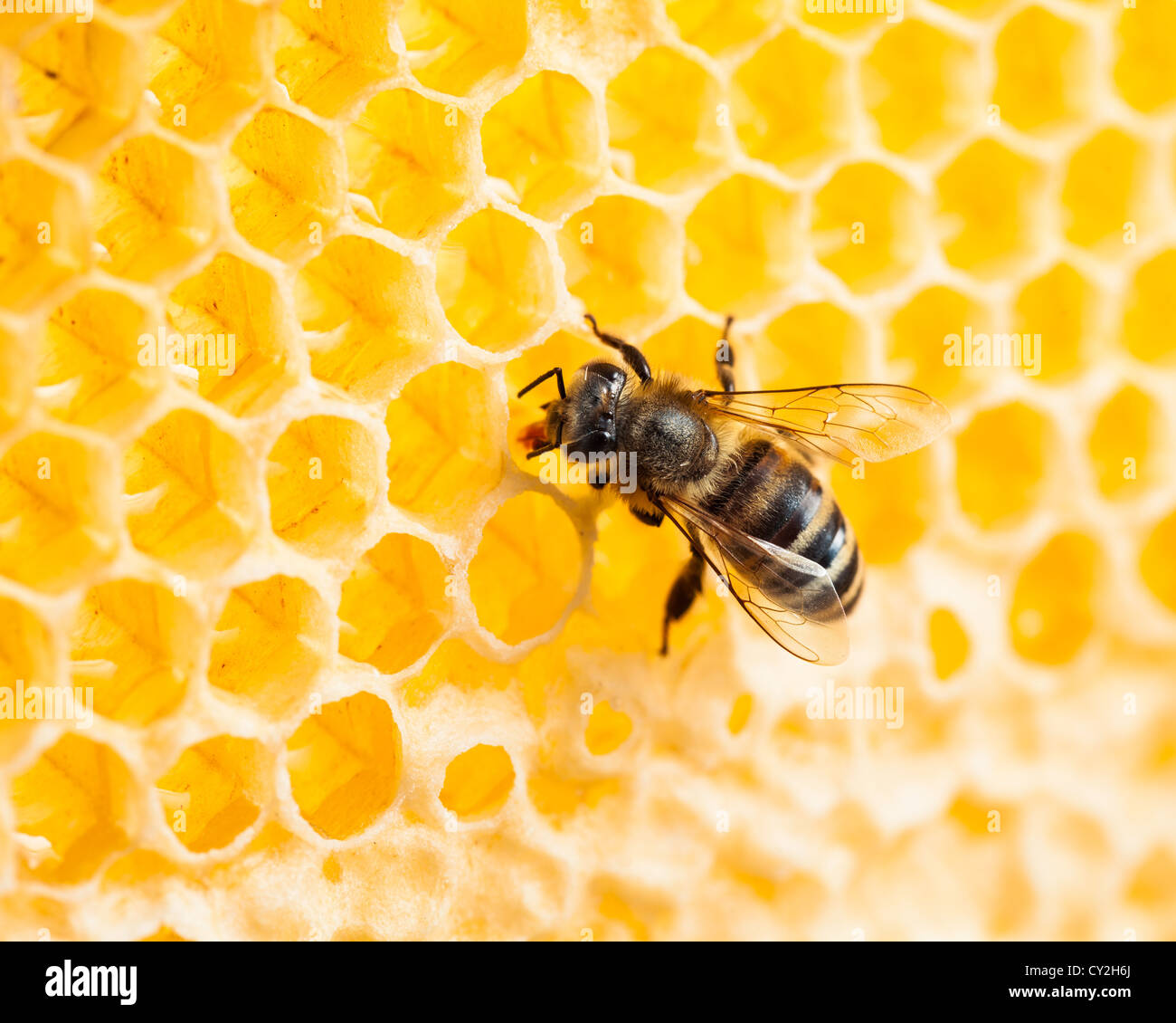 bee working in honeycomb macro shot Stock Photo