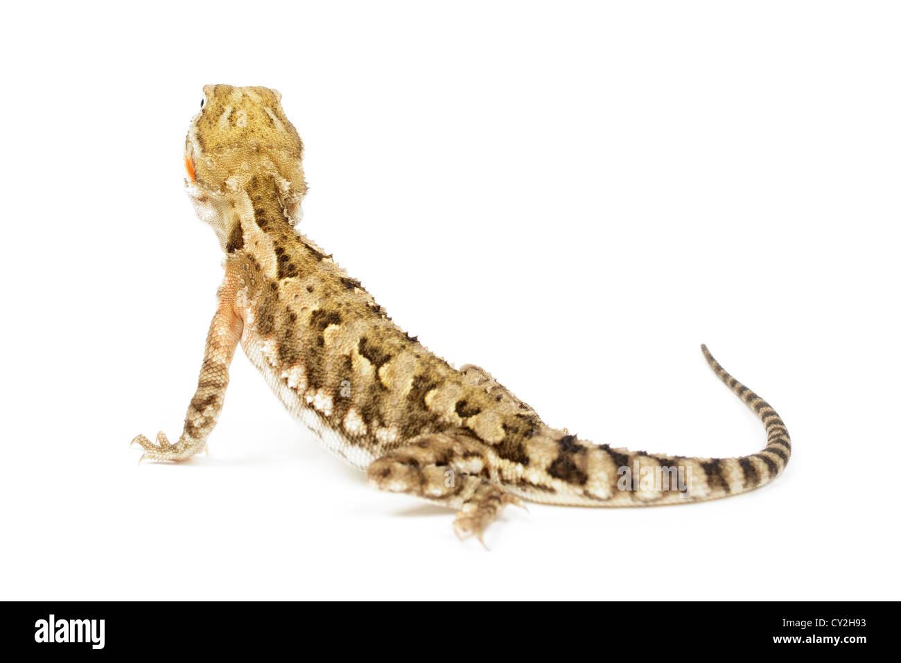 Rankin's Dragon on white background. - Stock Image