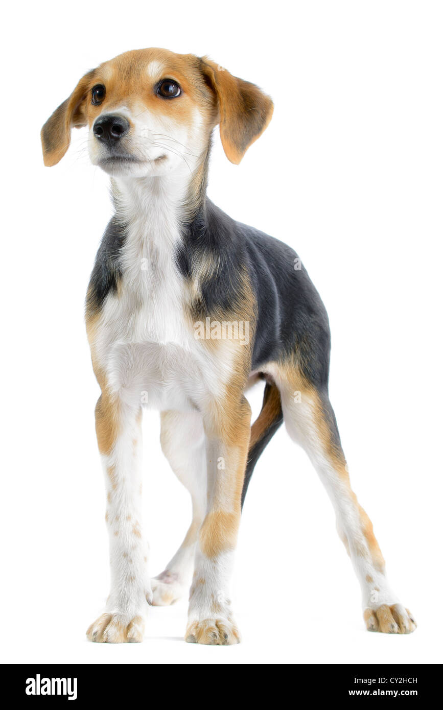Border collie/beagle (canis lupus familiaris) mix puppy isolated on white background - Stock Image