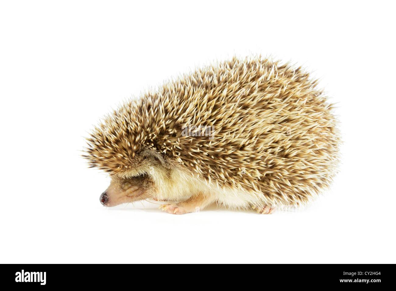 hedgehog on white - Stock Image