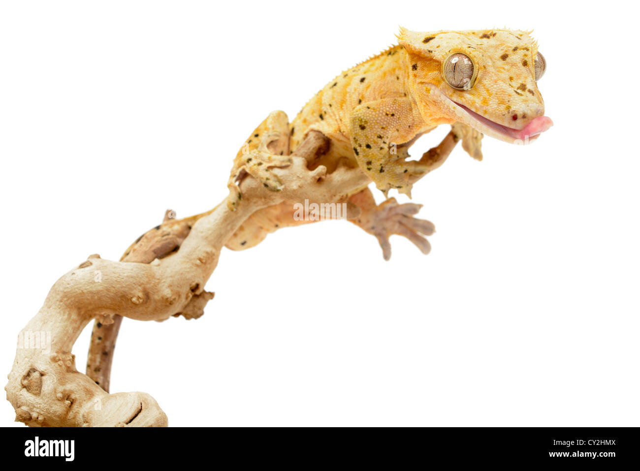 Crested gecko on white background. - Stock Image