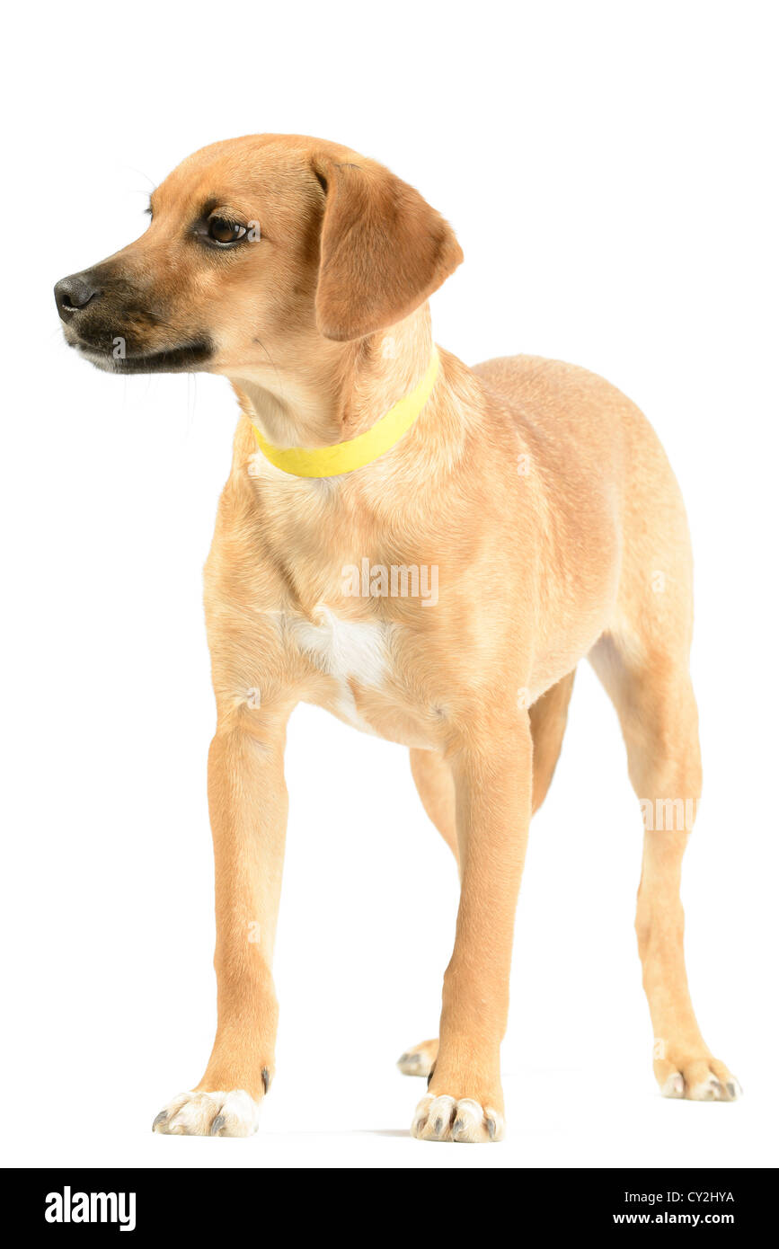 Hound mix (canis lupus familiaris) puppy isolated on white - Stock Image