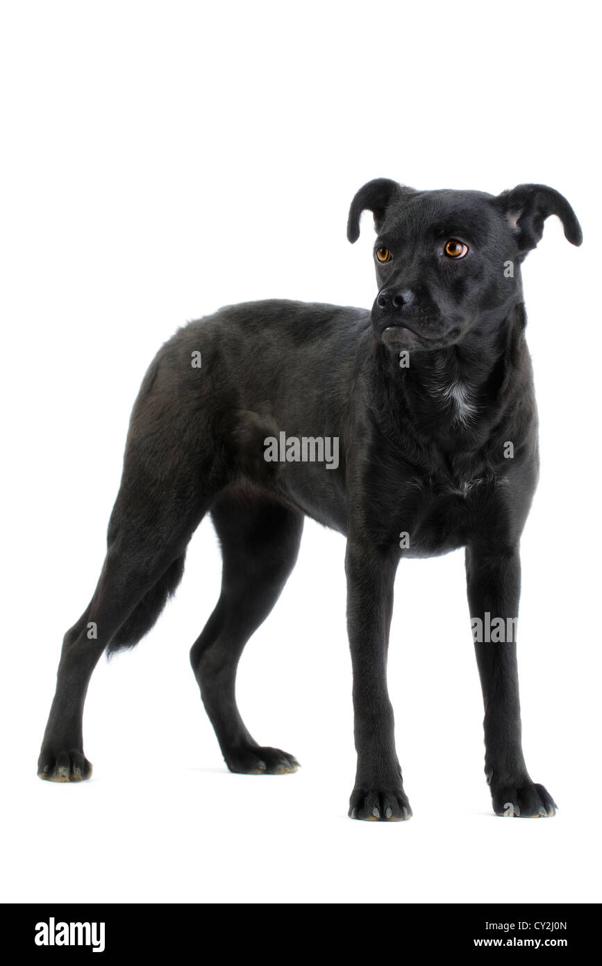 Lab mix puppy (canis lupus familiaris) isolated on white background - Stock Image