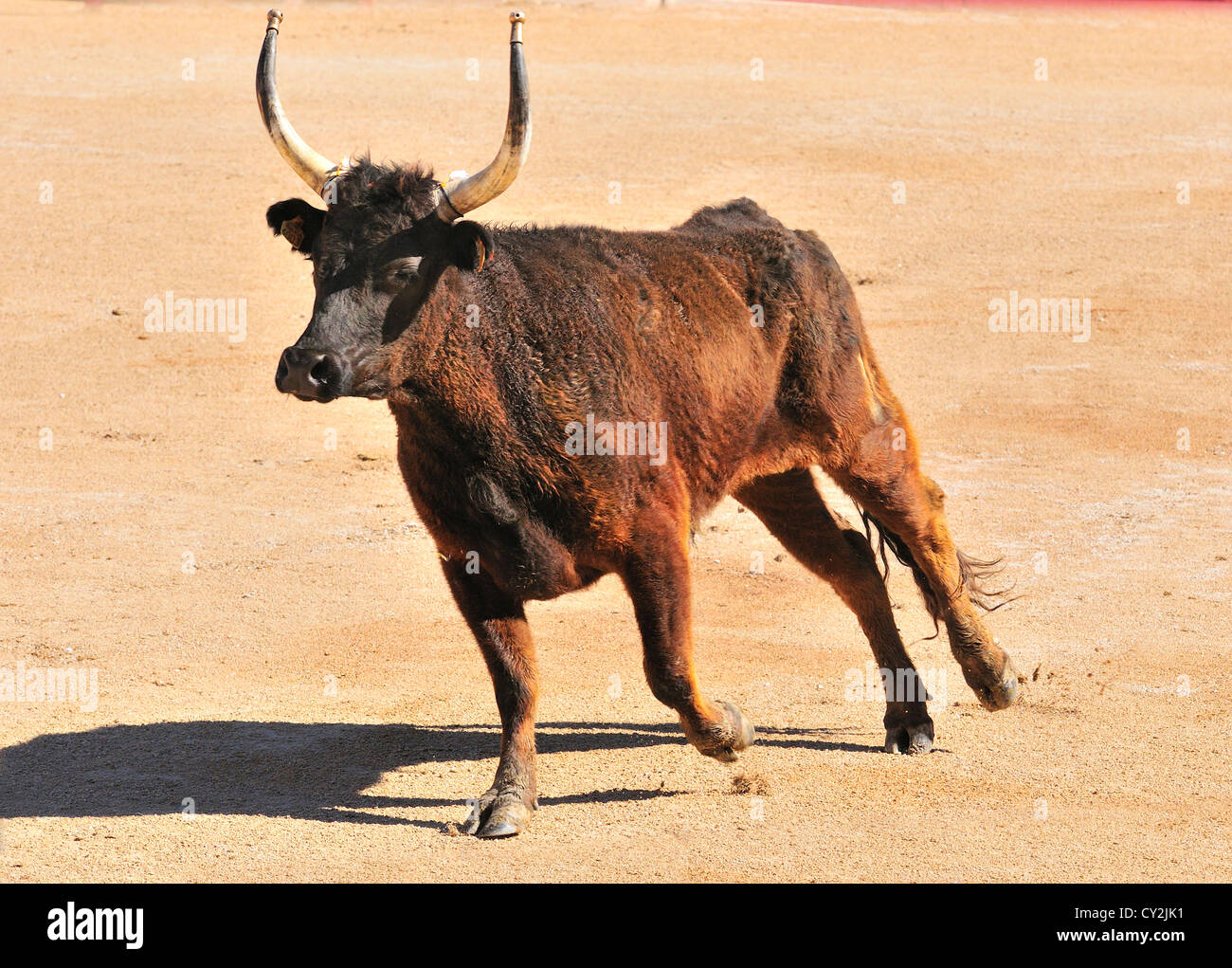The bull enters   the ring in The Roman Amphitheater in Arles during the  Fete des Guardians , - Stock Image