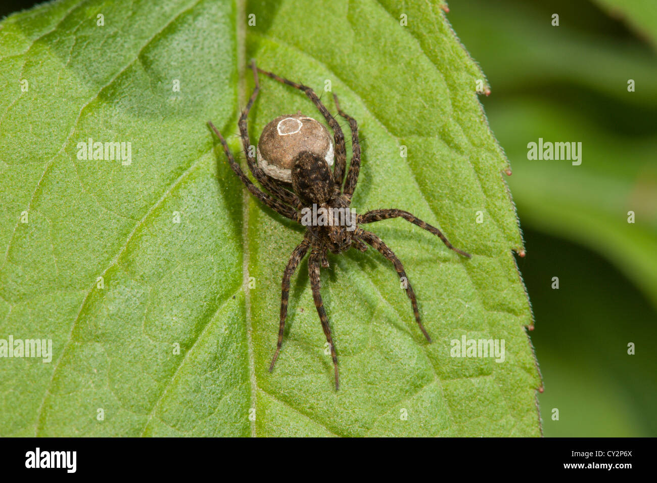 Orb Web Spider sunning itself on a leaf. - Stock Image