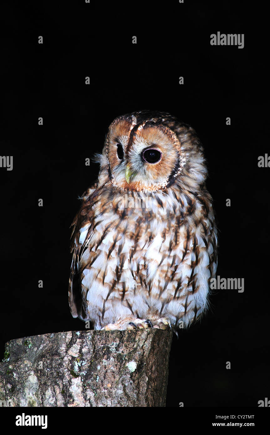 A tawny owl on a fence post at night UK - Stock Image