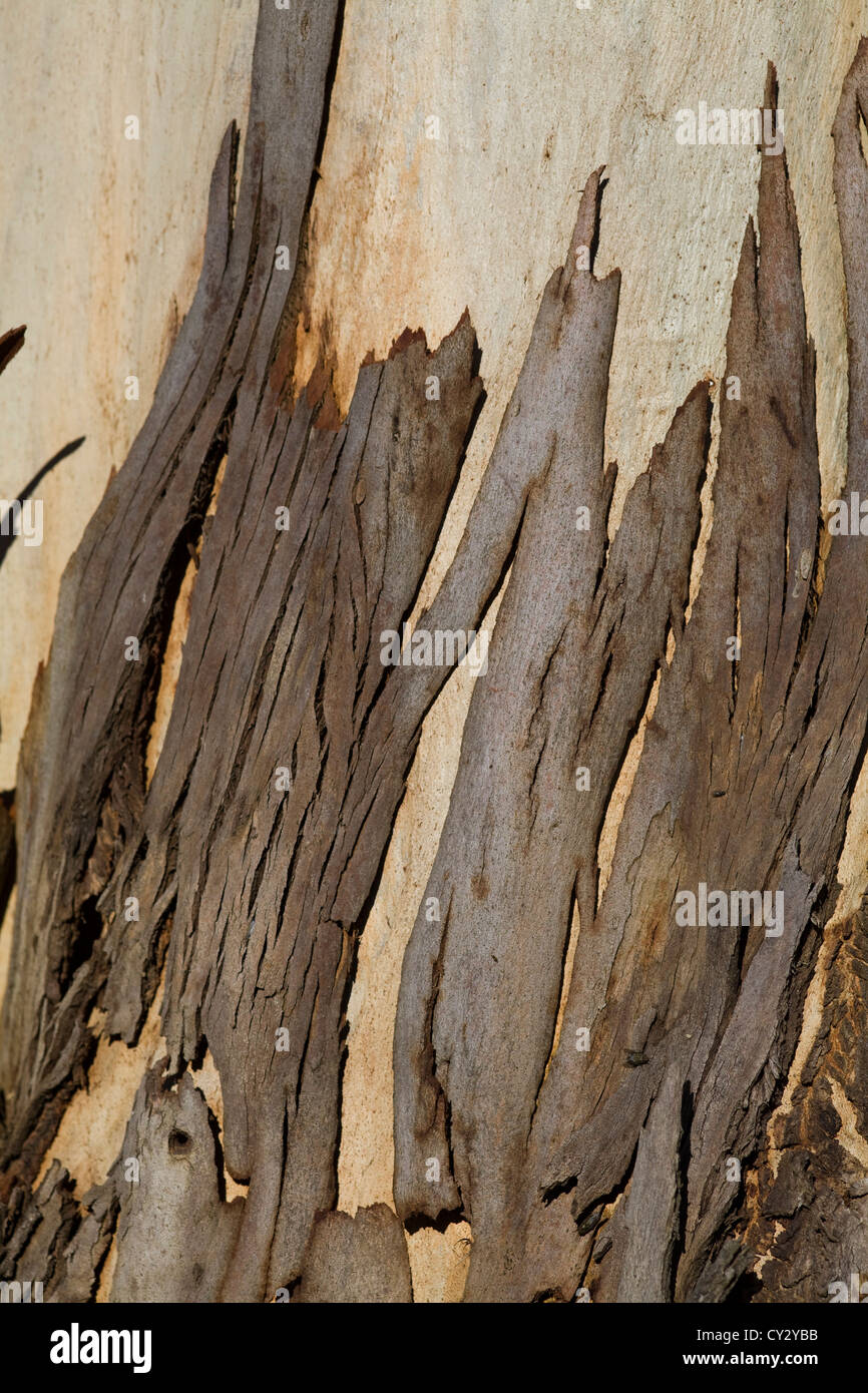 Eucalyptus Bark  Eucalyptus deglupta - Stock Image