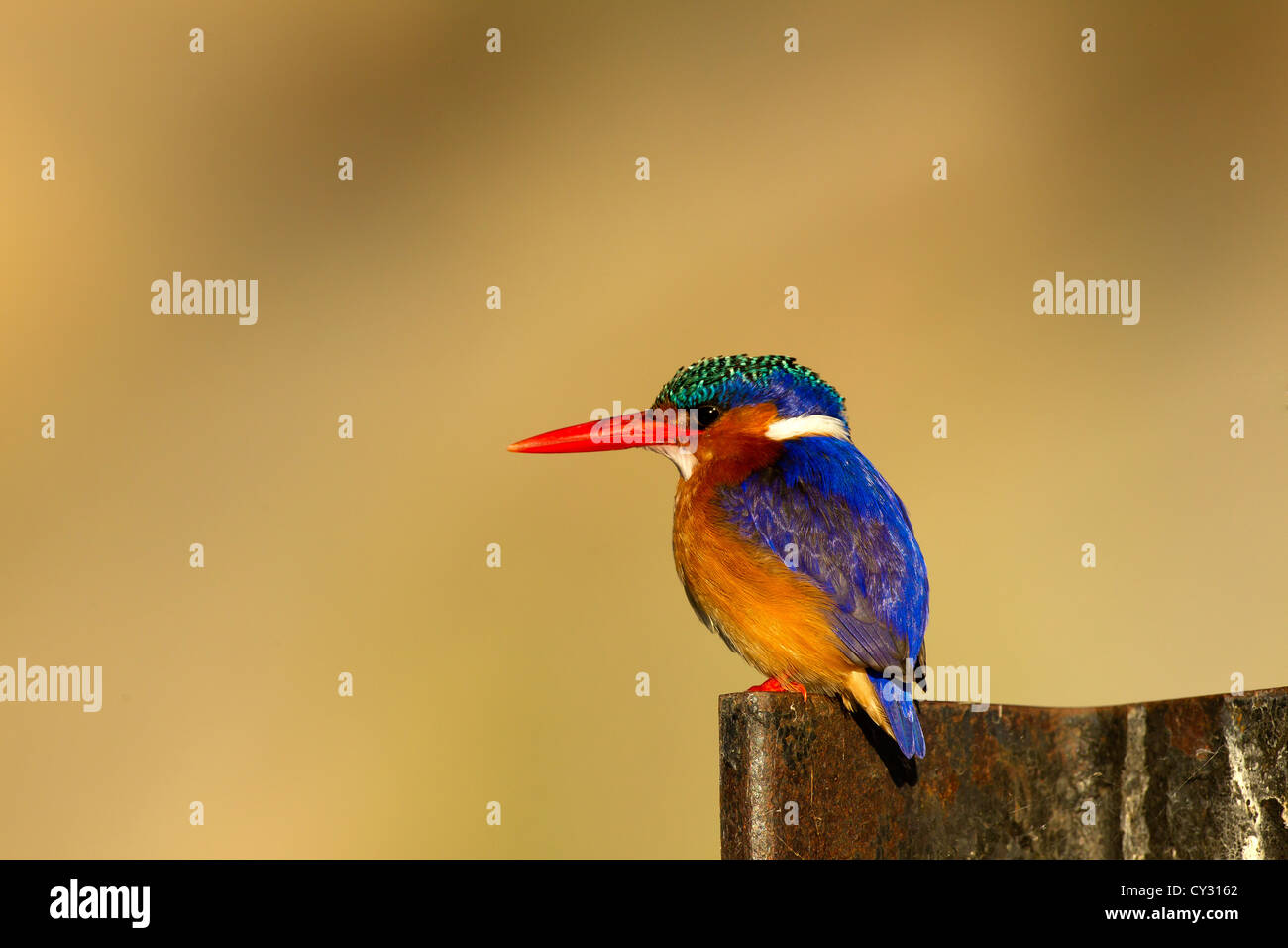 Kingfisher perched waiting for a meal - Stock Image