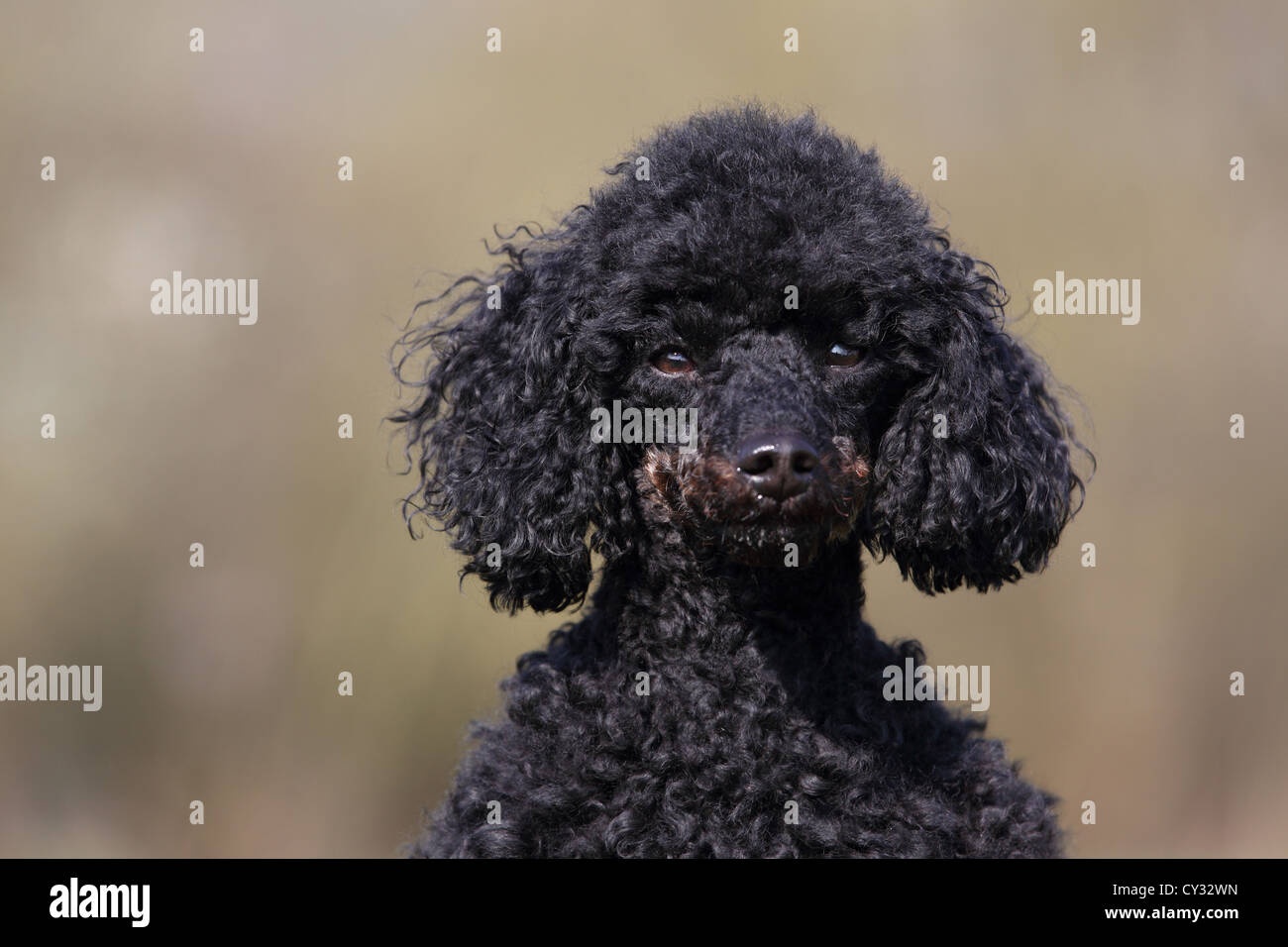 toy poodle - Stock Image