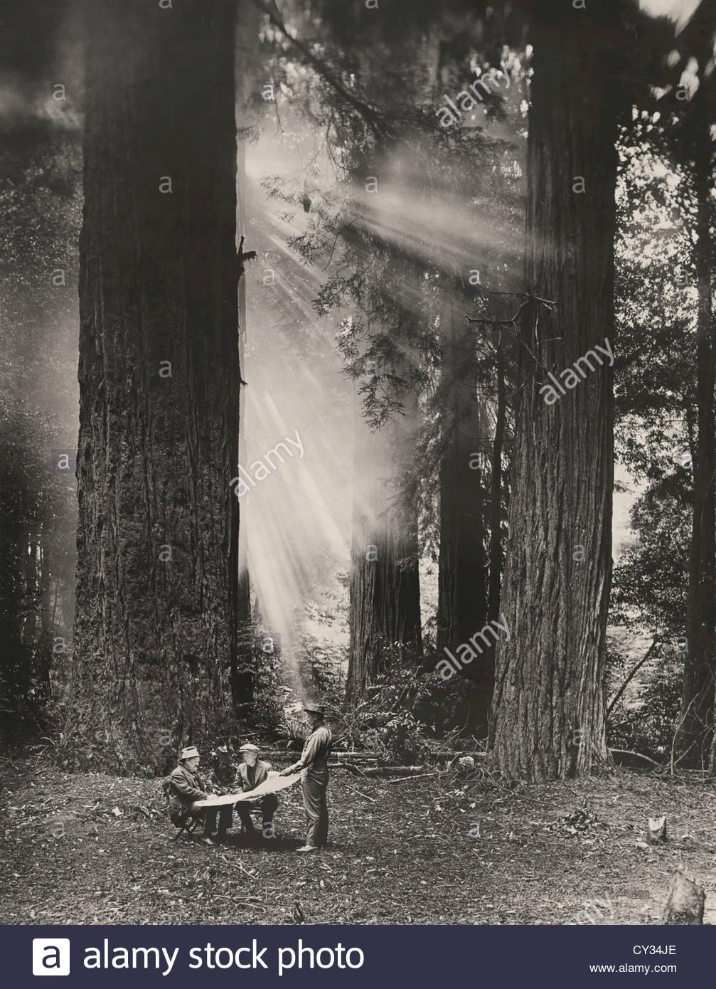 Men view map against giant redwoods as sunbeams break through fog. - Stock Image
