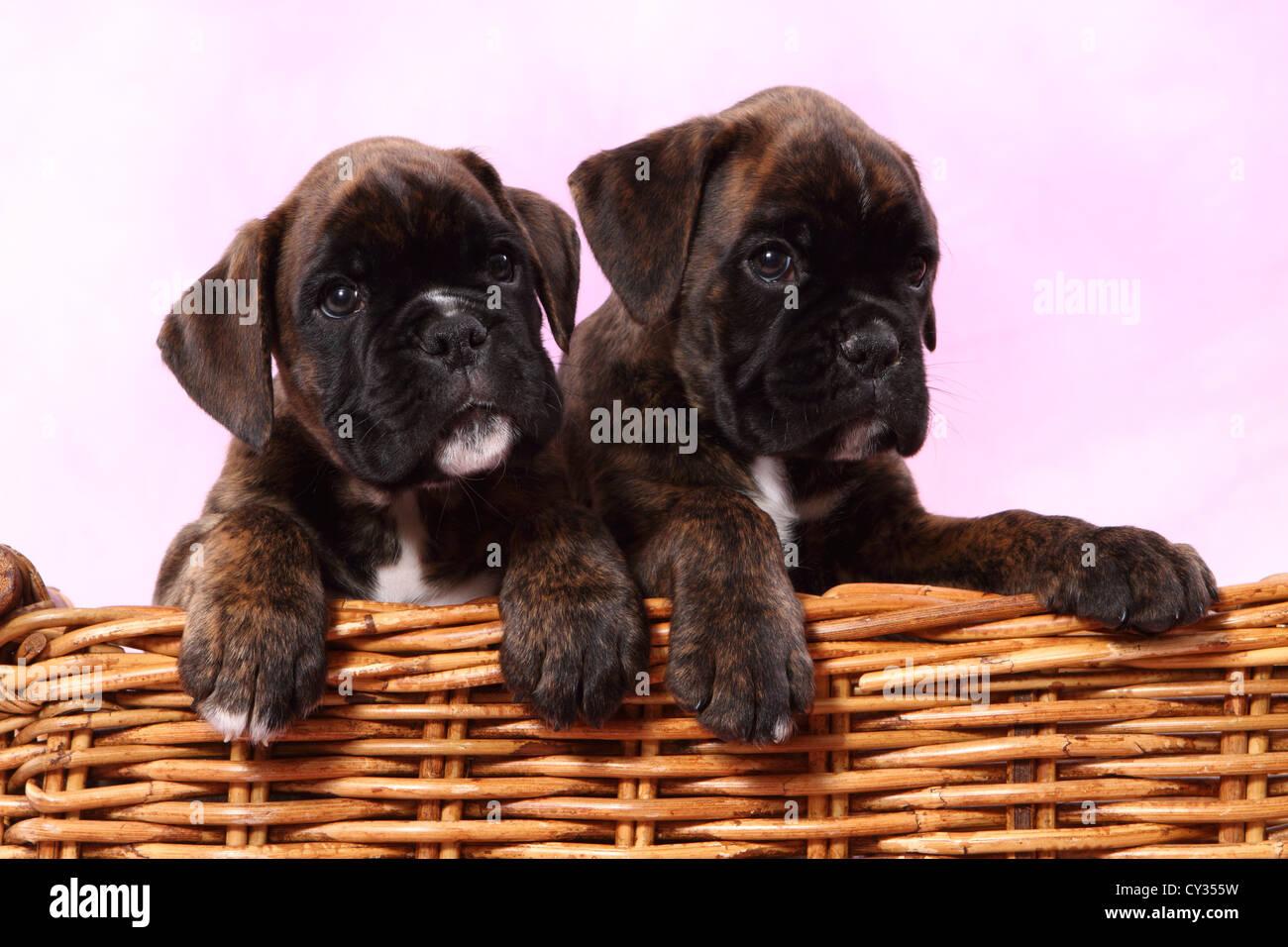 German Boxer Puppies Stock Photo Alamy