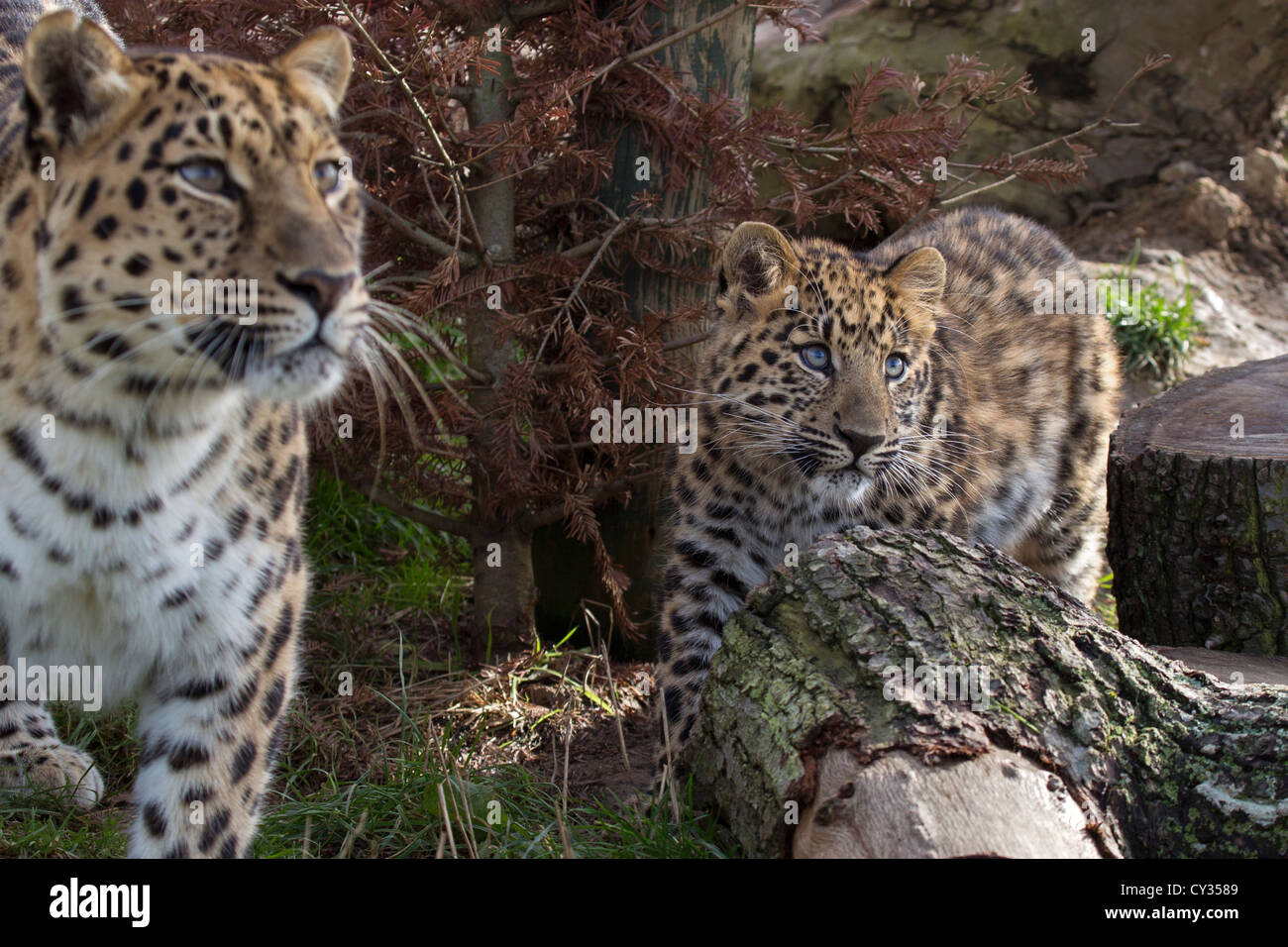 Amur Leopards, mother and 2 months old cub - Stock Image