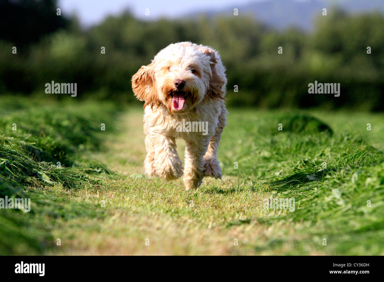Running Cockapoo in field of cut grass - Stock Image