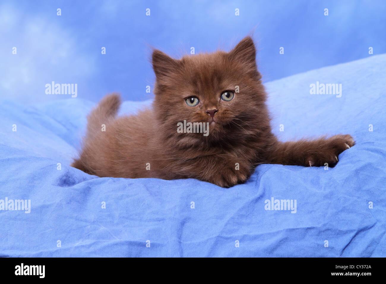 Highlander Kitten - Stock Image