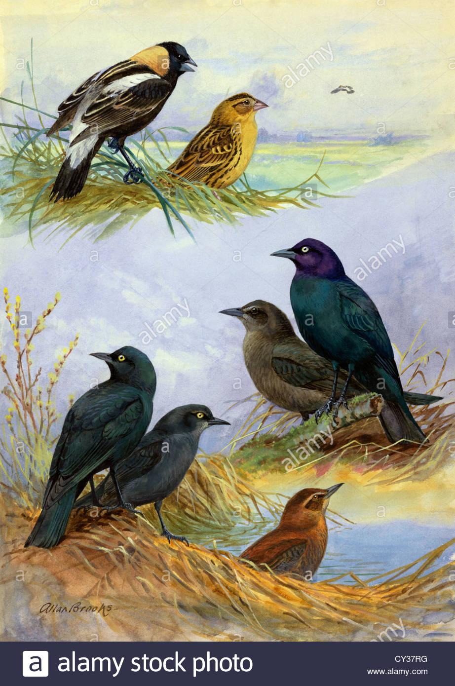 Painting of bobolinks, Brewer's blackbirds and rusty blackbirds. - Stock Image