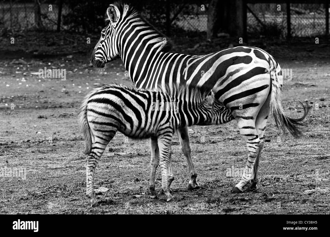 Zebra snack time - Stock Image