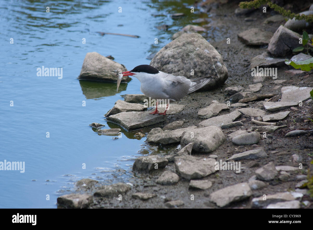 at gmld1607_9156 sterna paradisaea Arctic tern with sand eel in beak on Farne Islands off Seahouse Northumberland - Stock Image