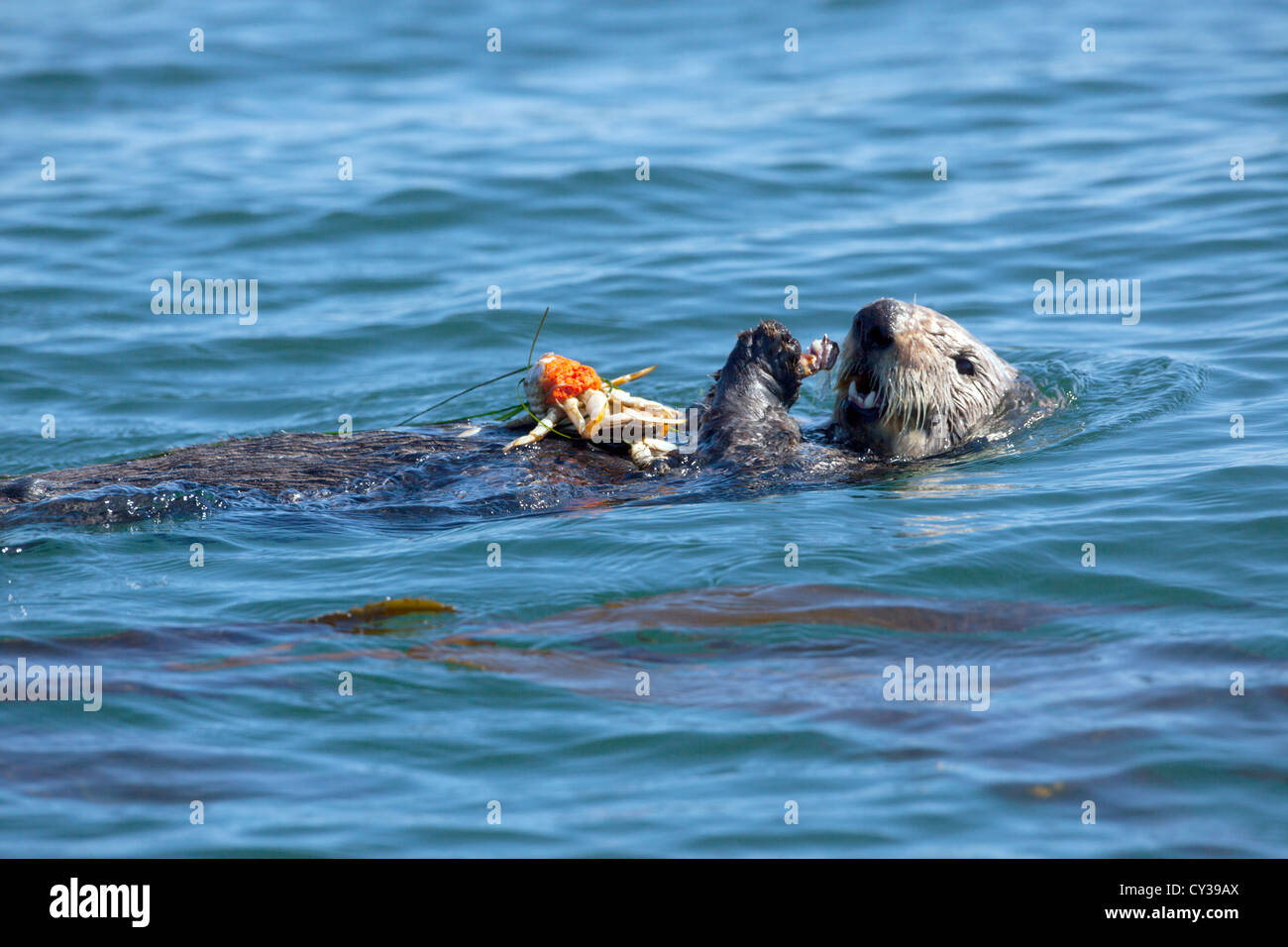 A Southern Sea Otter eats a crab in Elkhorn Slough, California. - Stock Image