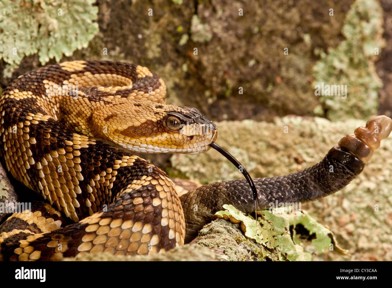 Northern Black-tailed Rattlesnake, Crotalus molossus, Native to Southwestern US Stock Photo