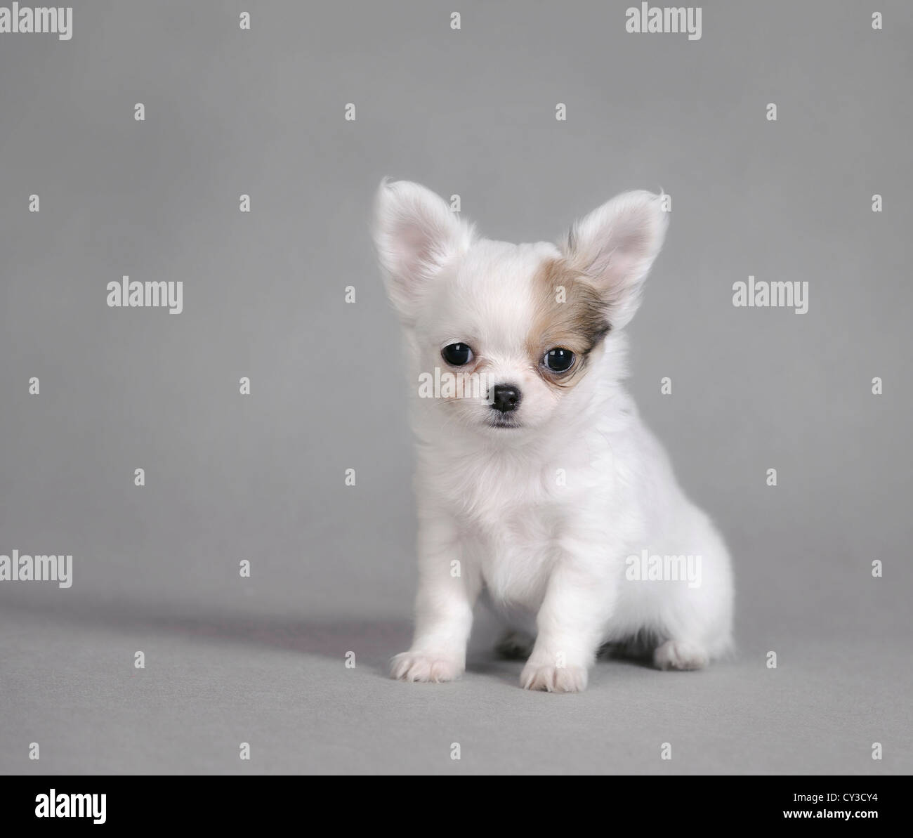 Chihuahua puppy portrait - Stock Image