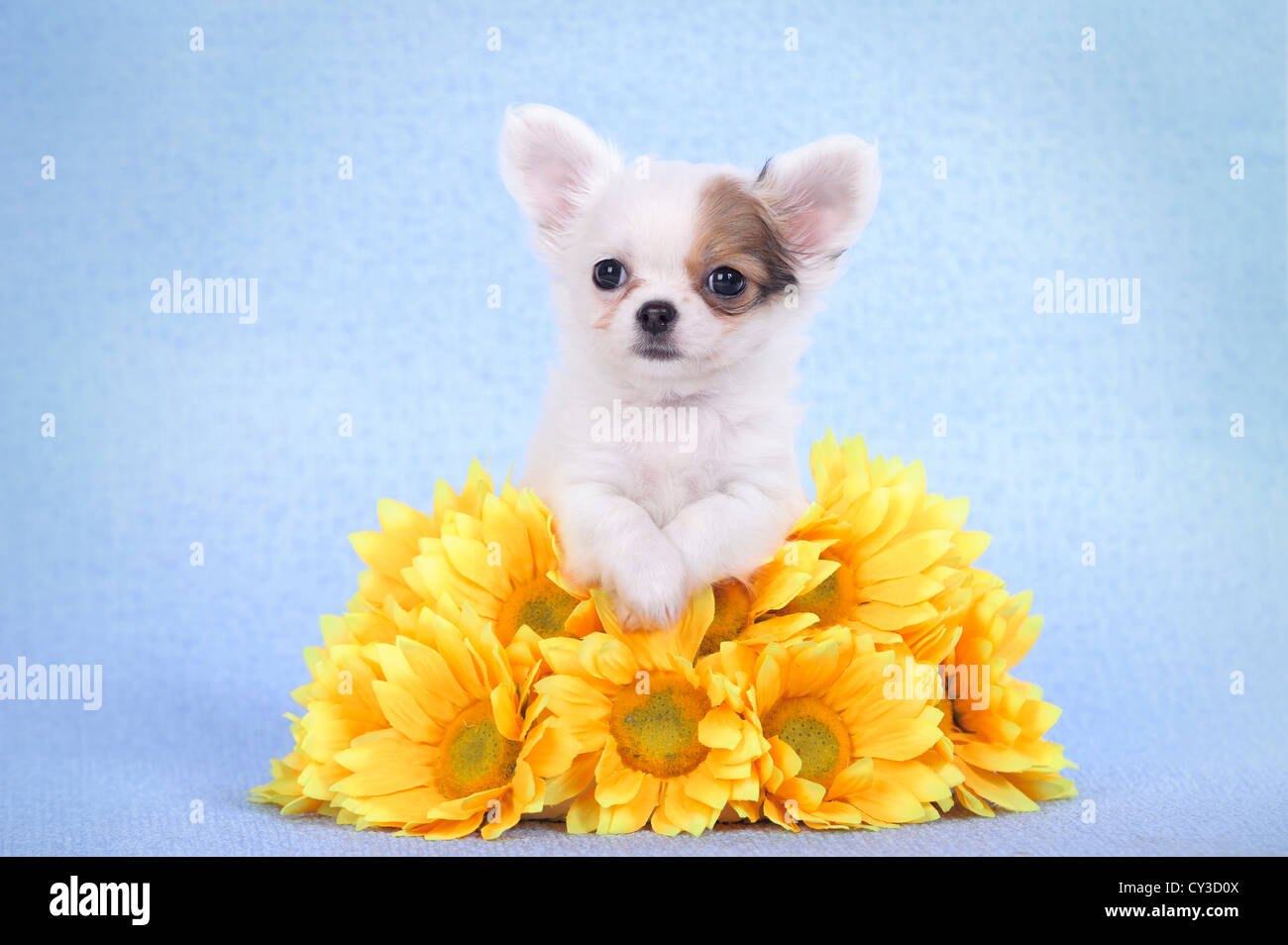 Chihuahua puppy portrait with yellow flowers - Stock Image