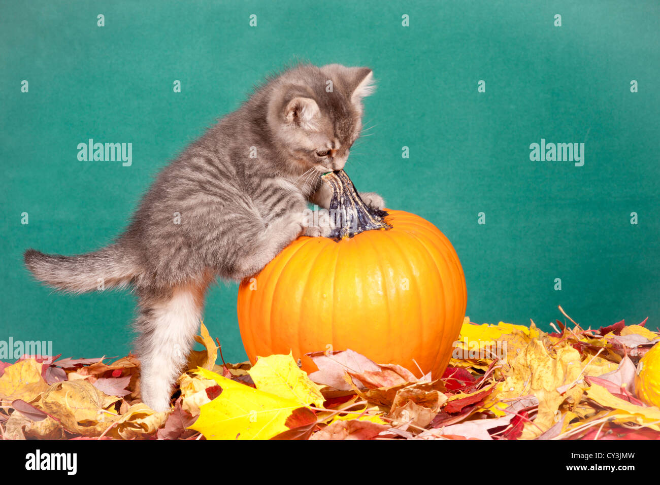 A curious kitten climbs onto a pumpkin. - Stock Image