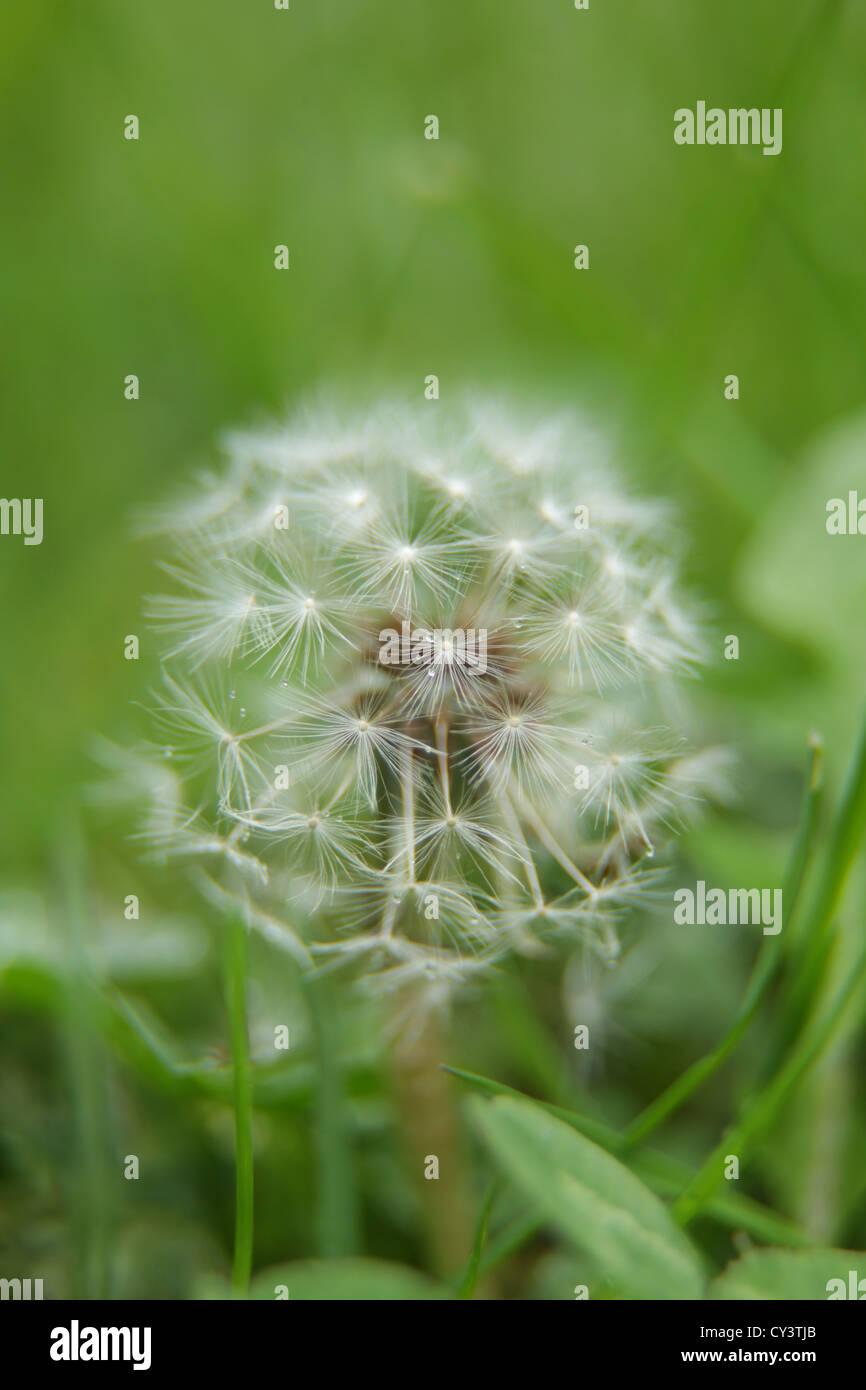 dandelion, fluff, green, grass, white, summer - Stock Image