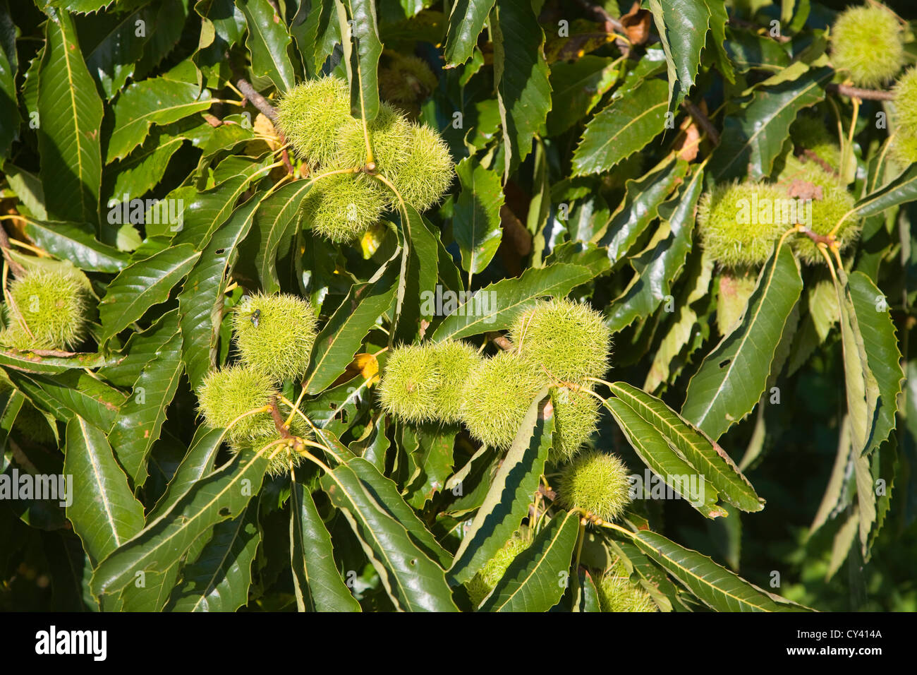 Castanea sativa sweet chestnut tree fruit and leaves - Stock Image