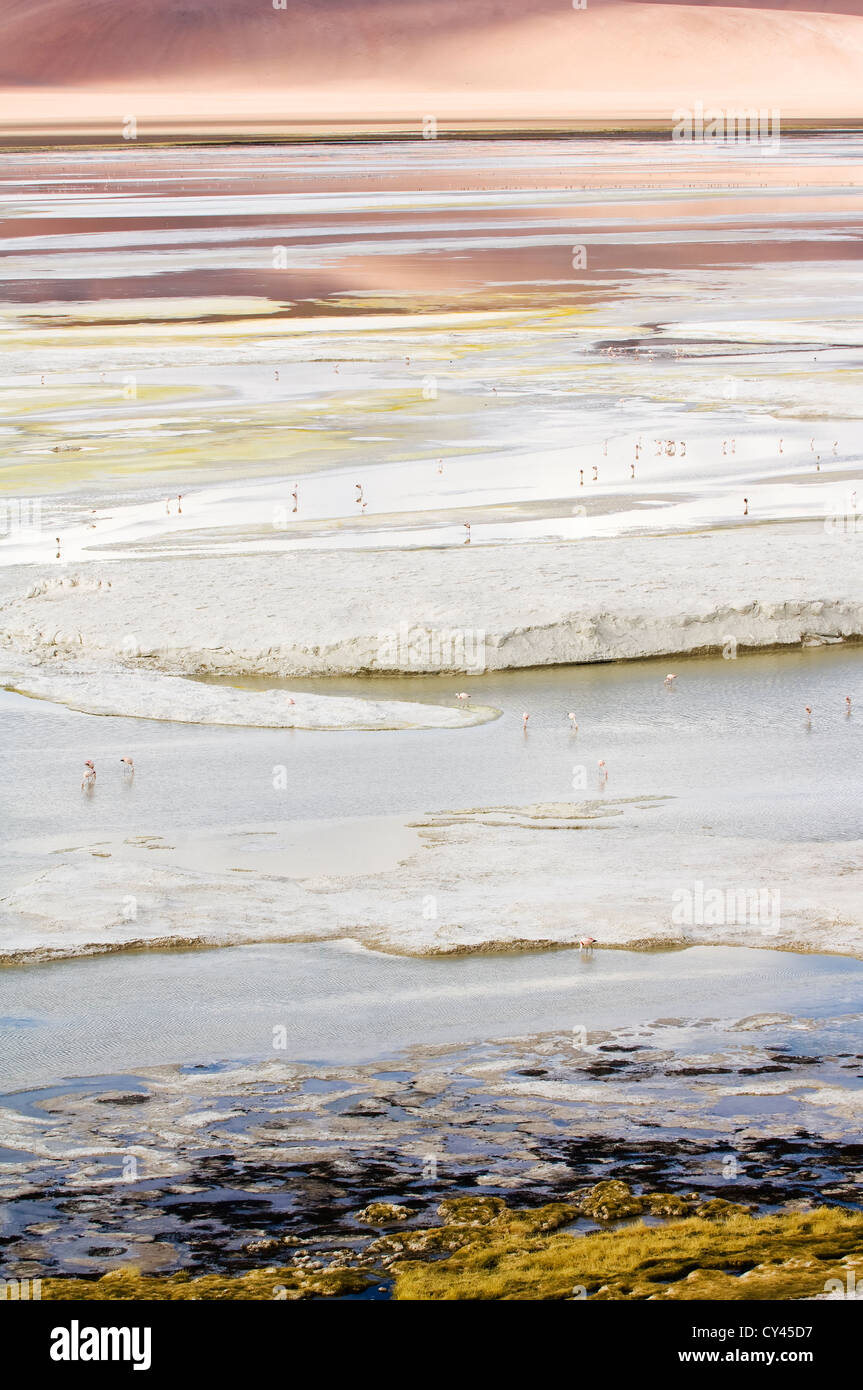 Salty Laguna with Chilean flamingos (Phoenicopterus chilensis) - Stock Image