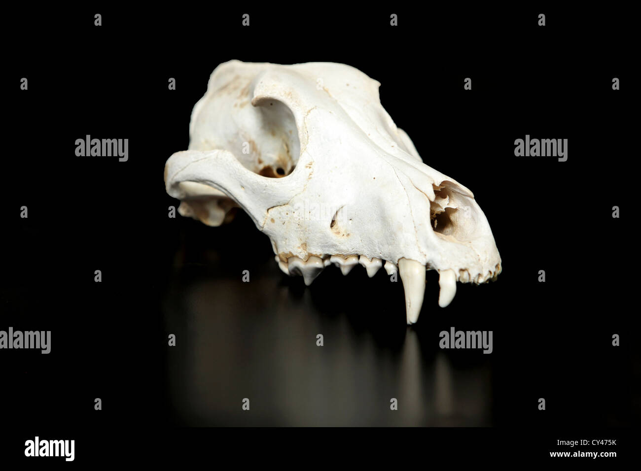 wild boar Animal skull with reflection On black Background - Stock Image