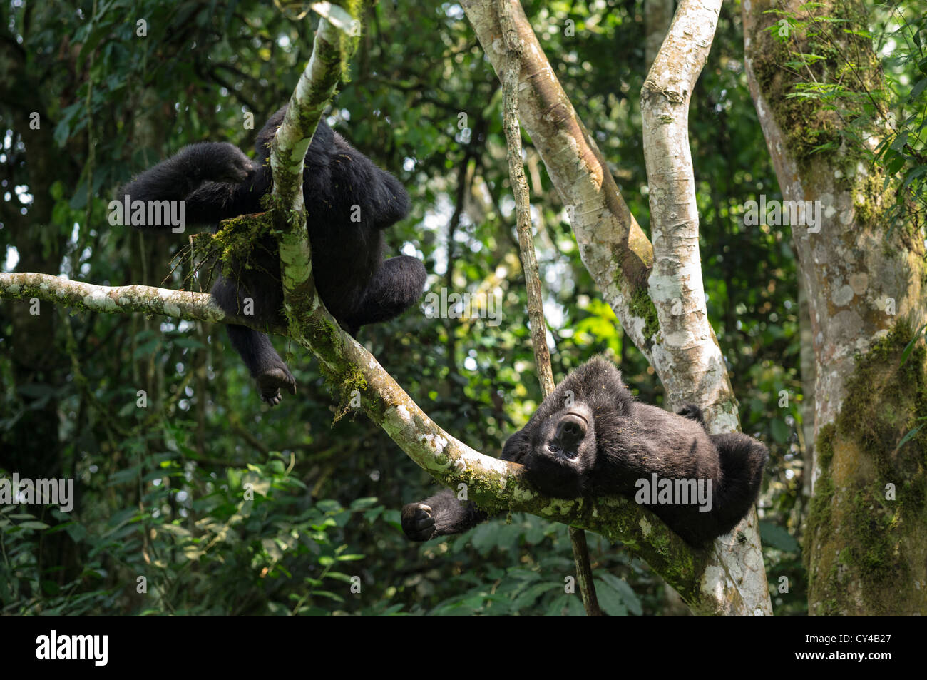 Mountain gorillas relaxing on a tree in the Bwindi Impenetrable Forest in Uganda. - Stock Image