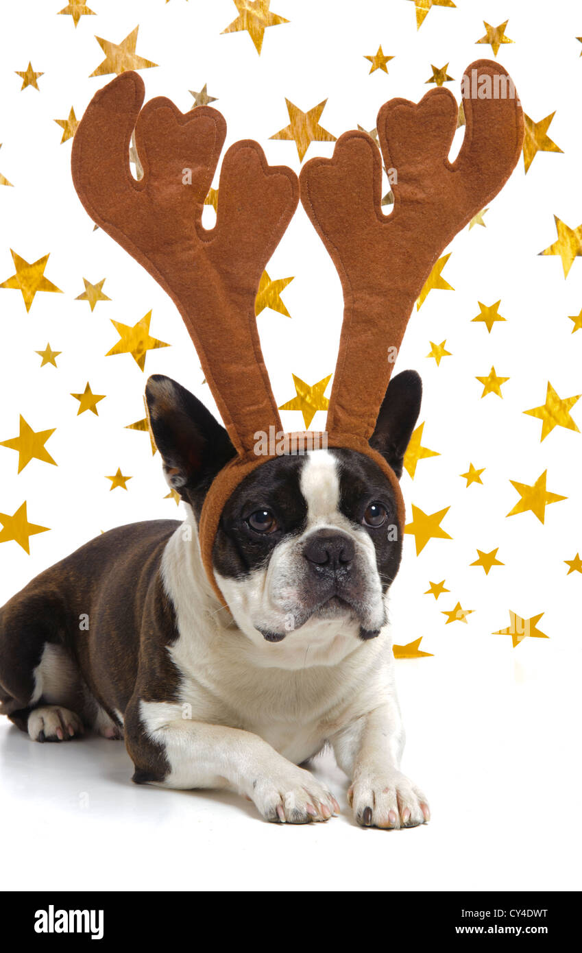 funny boston terrier dog at Christmas with antlers - Stock Image