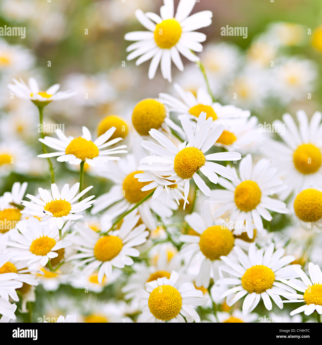 Flowering chamomile growing in summer meadow close up - Stock Image