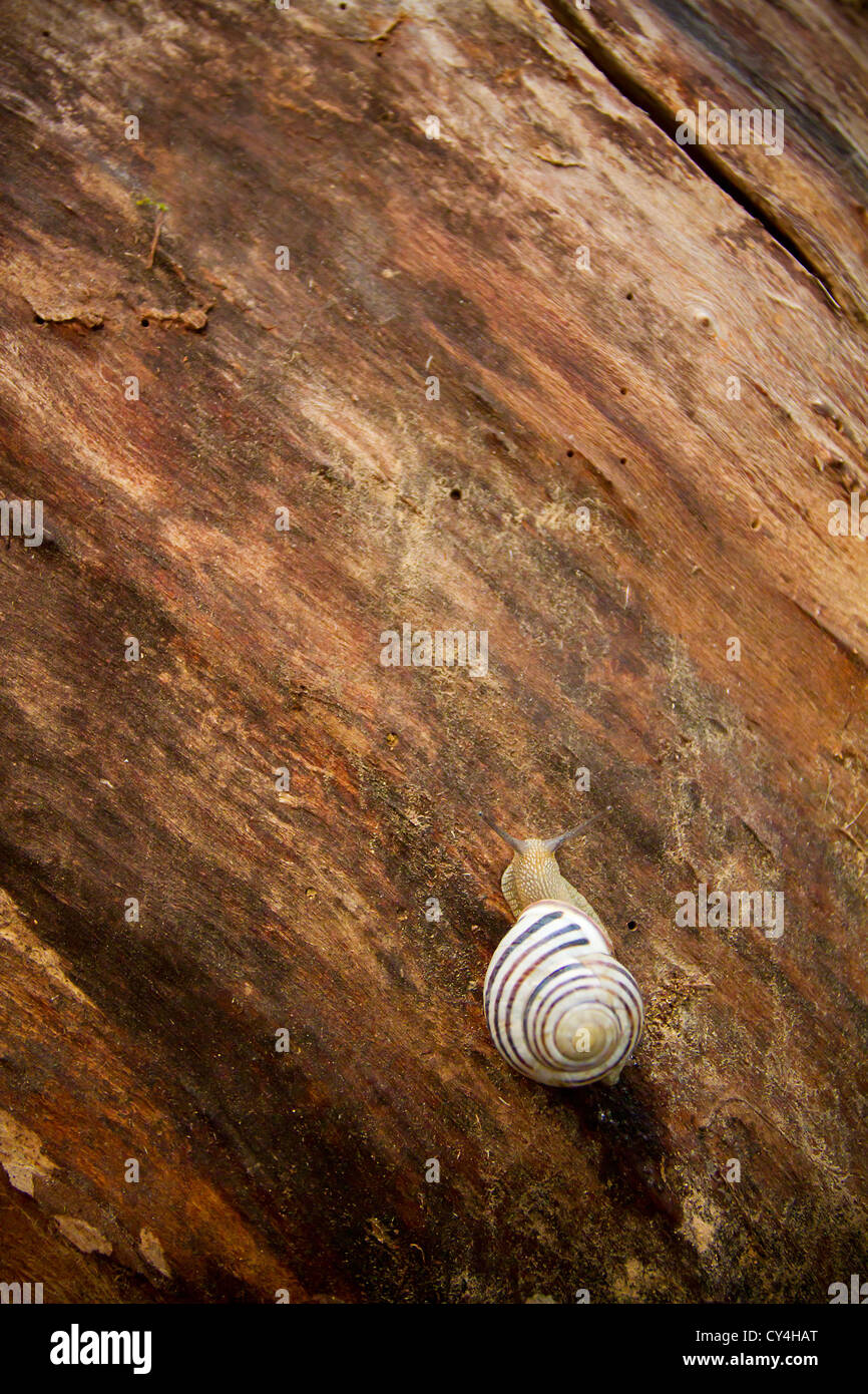 Closeup of a snail on a tree bark surface - Stock Image