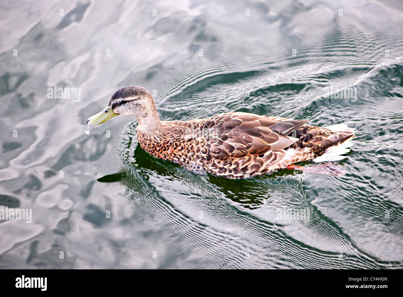 Female mallard duck swimming on calm pond with cloud reflections - Stock Image