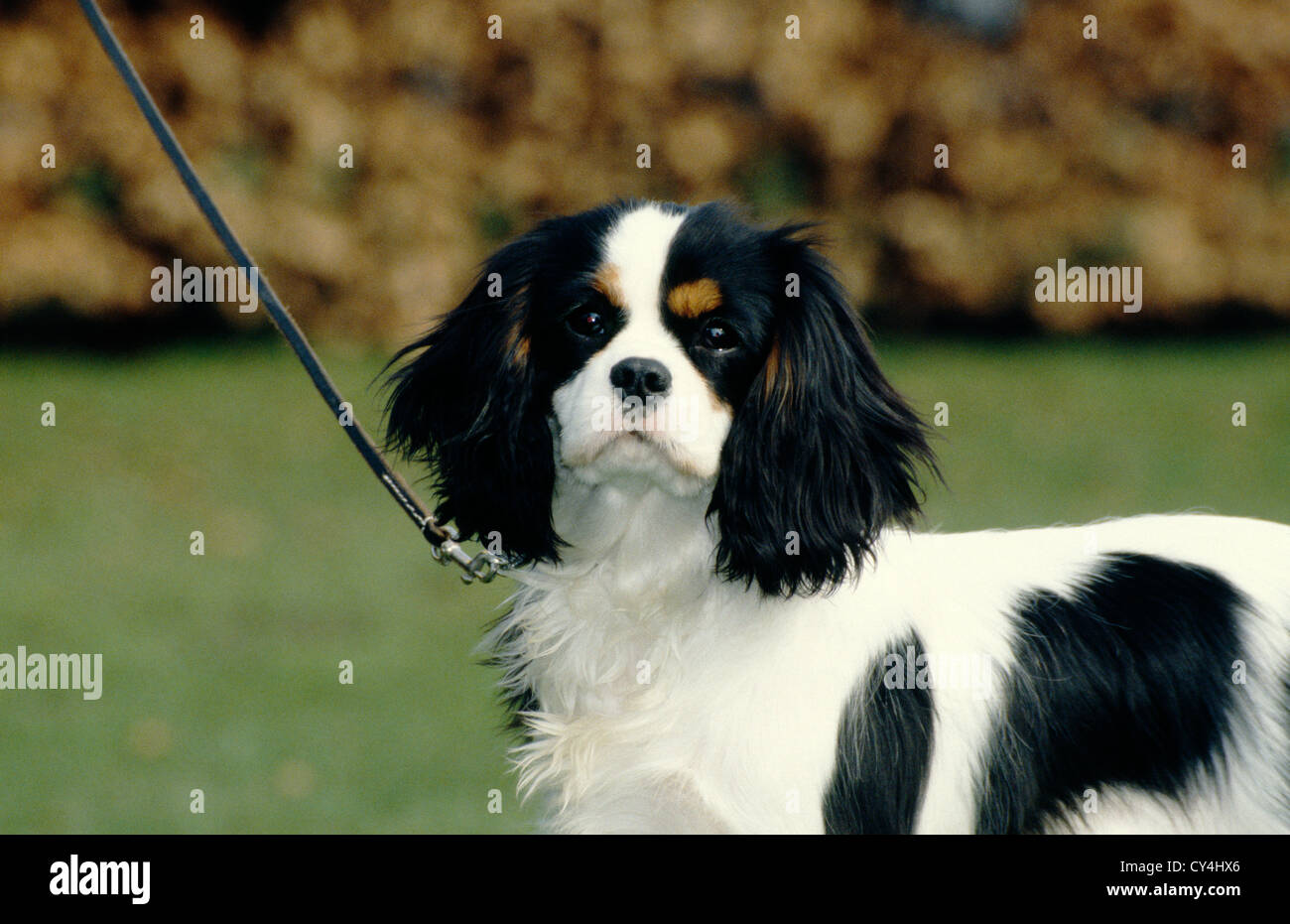 Apologise, but Adult cavalier king charles spaniels for sale found site