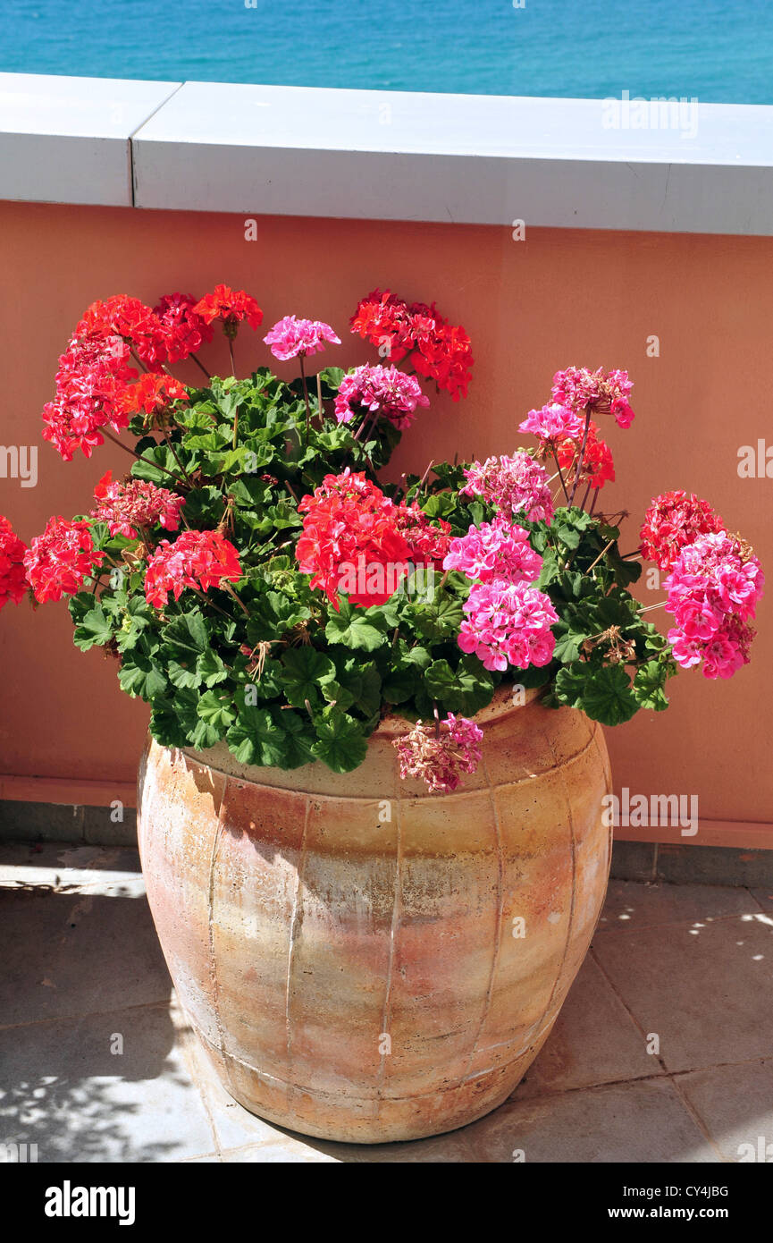 Pink geranium pot stock photos pink geranium pot stock images alamy pink and red geranium flowers in a pot stock image mightylinksfo
