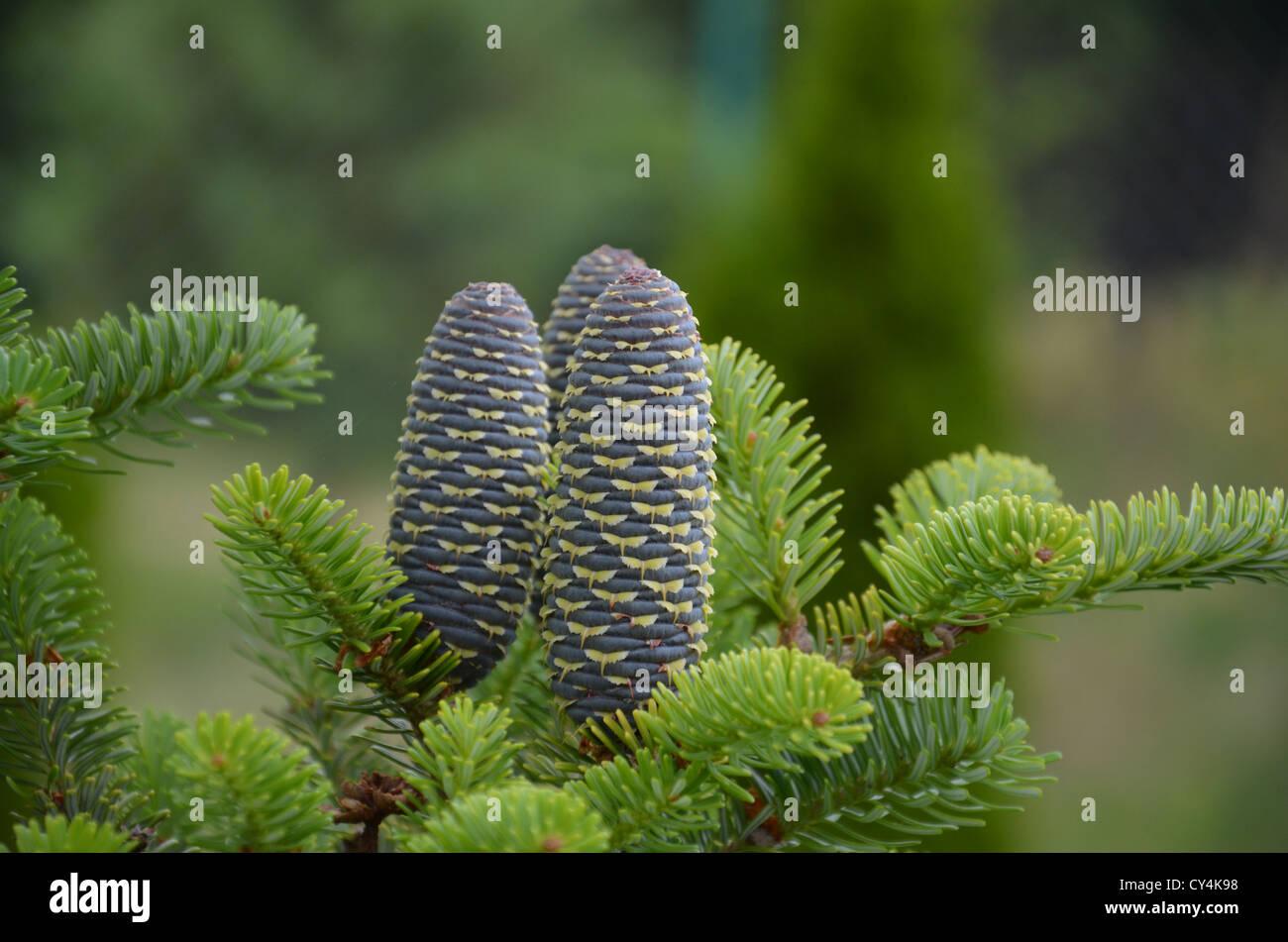 cone fir nature three conifer Gusang namu Abies koreana  pine cone - Stock Image