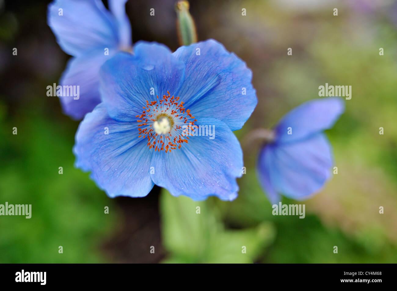 Close up of blue Himalayan poppy Meconopsis Napaulensis - Stock Image