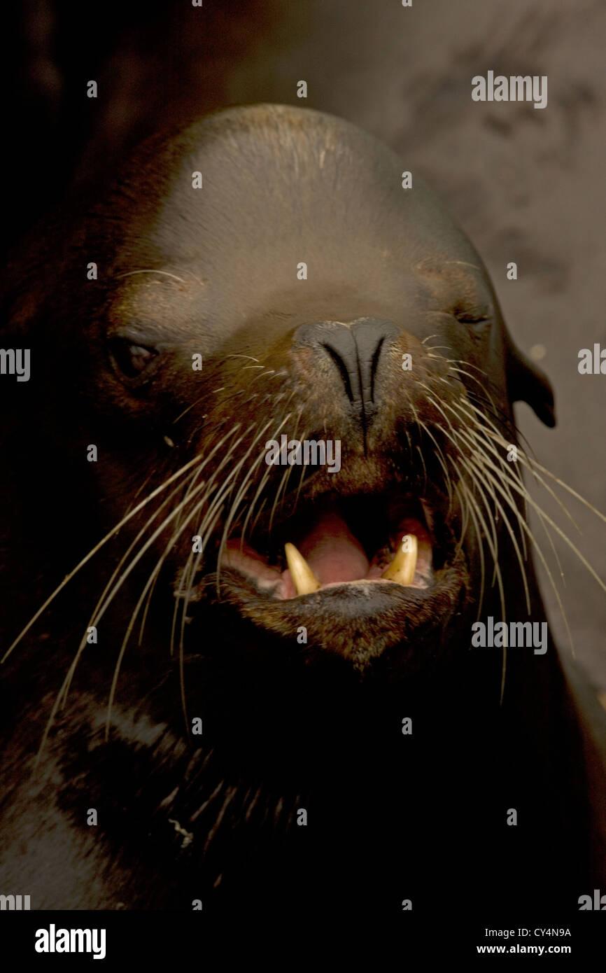 California Sea Lion (Zalophus californianus) - Oregon - USA - Stock Image