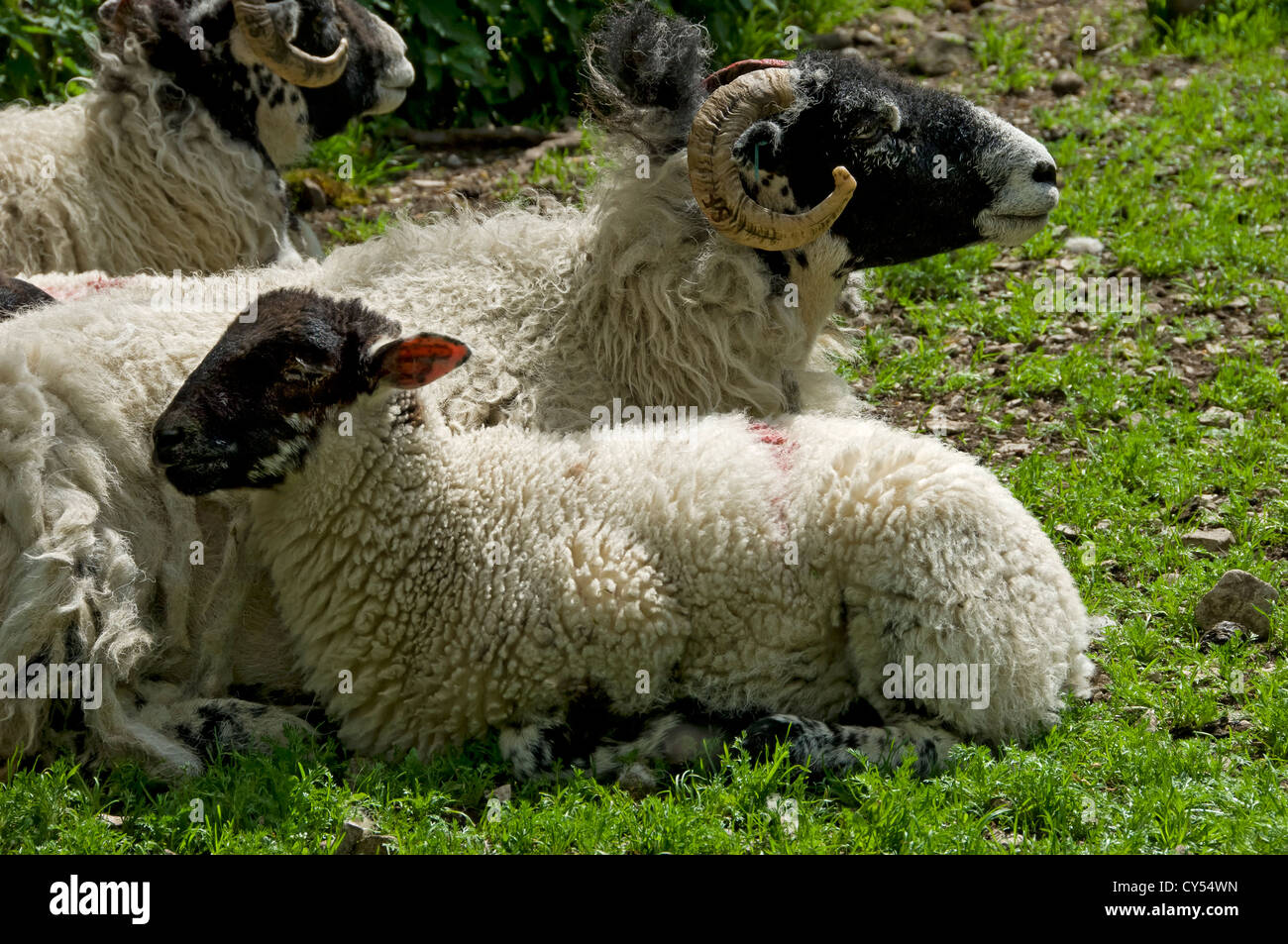 Swaledale ewe and lamb resting in a field North Yorkshire England UK United Kingdom GB Great Britain - Stock Image