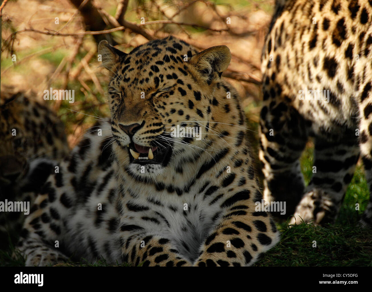 Three Amur Leopards. Mother with two large cubs. - Stock Image