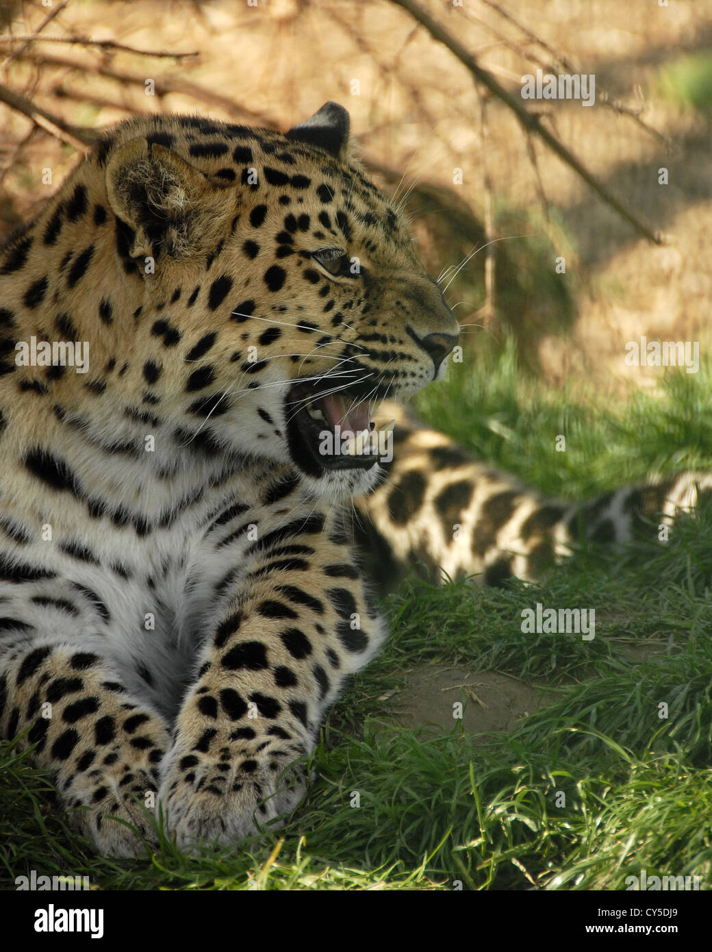 Amur Leopard lying on floor and snarling - Stock Image