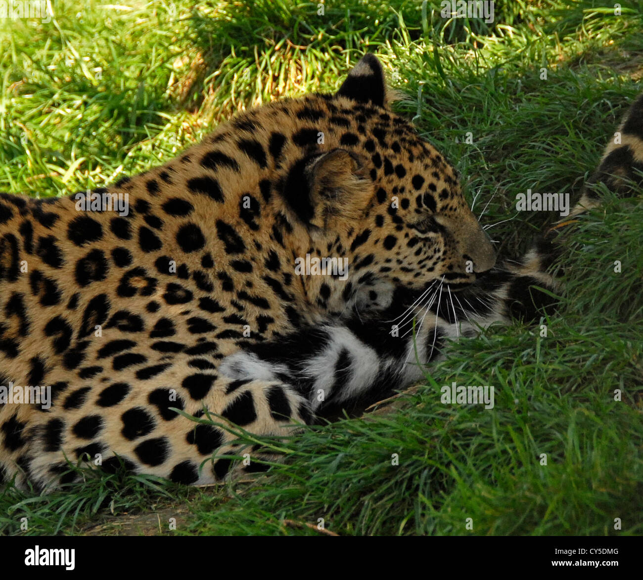 Amur Leopard cub playing with its mother's tail - Stock Image