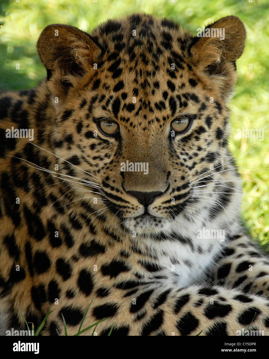 Close up of young Amur Leopard looking towards the camera - Stock Image